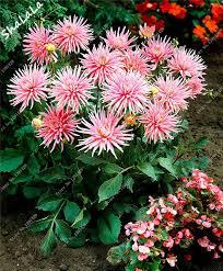dahlia cactus flower seeds park princess 100 pcs tropical