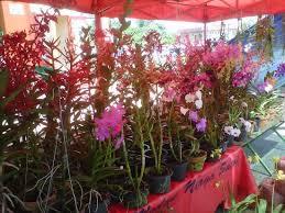 orchid plants for sale orchid plants for sale picture of satok weekend market kuching
