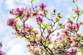 Flowering Privacy Shrubs - best shrubs for privacy lovetoknow