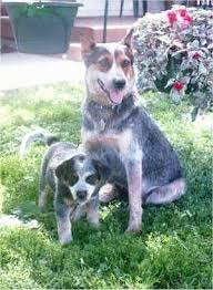 australian shepherd upkeep australian cattle dog breed information and pictures