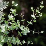 silver drop eucalyptus eucalyptus silver drop harris seeds