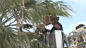 Cateracterum Palm by Watch Firefighters Rescue Cat From Tree Nbc News