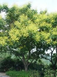 Wildfire Black Gum Tree by Goldenrain Tree Garden Housecalls