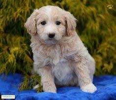 american eskimo dog poodle mix rancho cucamonga ca american eskimo dog poodle standard mix