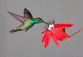 Hummingbird On A Flower - birds as art bulletin