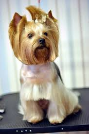 yorkie hairstyles yorkie haircut exles pinterest the world s catalog of ideas