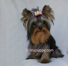 teacup yorkie haircuts pictures teacup yorkie wallpaper wallpapersafari