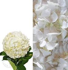 where can i buy petals white hydrangea flower petals 8 stems 6 packs free