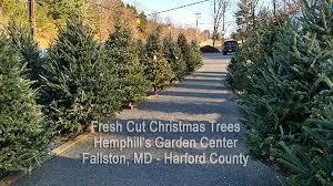 live christmas trees at hemphills nursery and garden center in