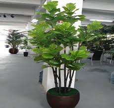 k decorative mango trees for sale with cheap price 2014 buy