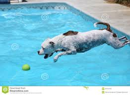 white dog jumping off the side of the pool stock photo image