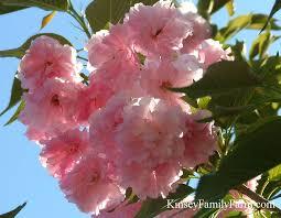 flowering cherry trees for sale kinsey family farm