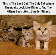 Sand Meme - the sand cat cats know your meme