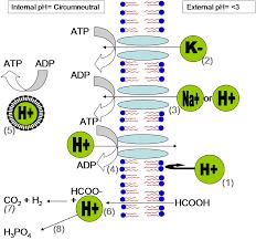 acidophiles in acid mine drainage wikipedia