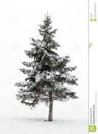 pine tree in winter stock photos image 372433