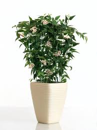 fragrant houseplants hgtv