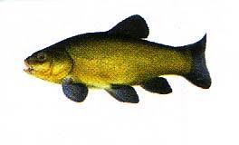 comment cuisiner une tanche poissons d eau douce la tanche un beau poisson d eau douce