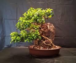 new zealand native plants and trees new zealand native tree bonsaiplace