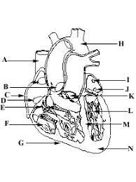 circulatory system anatomy quiz at best anatomy learn