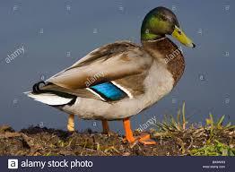 mallard duck duck u0027s bird stock photo royalty free image