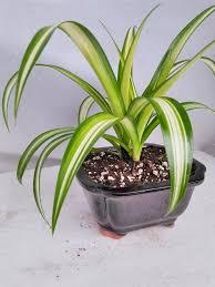 ocean spider plant bonsai pot 6x4x2 for better growth