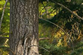 15 stunning exles of owl camouflage