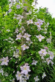 blooming clematis at my farm the martha stewart blog