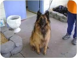 owning a belgian sheepdog found belgian tervuren adopted dog fulton mo belgian