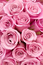 Picture Of Roses Flowers - best 25 pink roses ideas on pinterest pink flowers pink love