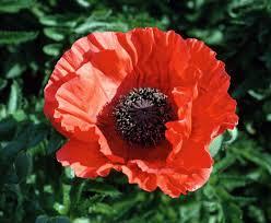 oriental poppy u0027allegro u0027 u2022 papaver orientale u0027allegro u0027 u2022 plants