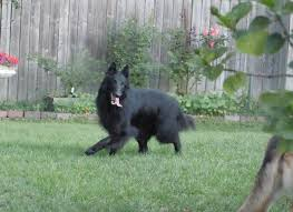 owning a belgian sheepdog about the bsd belgian sheepdog rescue trust