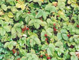 edibles fruits edible fruit