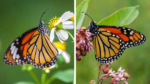 monarch miscalculation has a scientific error about the butterflies