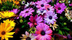 wallpaper spring flowers daisy flowers purple yellow 4k