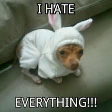 Funny Chihuahua Memes - having a bad day chihuahua funny dog cute w630