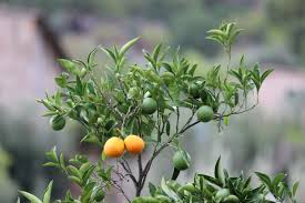 free images branch leaf flower orange tree food green herb