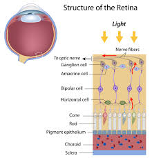 Pathway Of Light Through The Eye The Optic Nerve And Its Visual Link To The Brain Discovery Eye