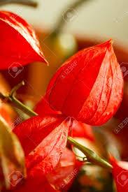 lantern flower lantern flower or physalis alkekeng is a flower with