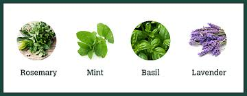 Plants That Repel Aphids by Plants That Repel Mosquitoes