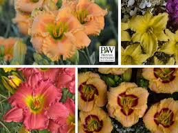 Reblooming Daylilies Perennial Resource Where Perennial Lovers Go For Good Dirt