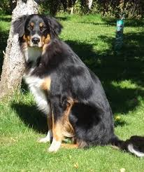 australian shepherd rottweiler mix puppies for sale mixed breed dog pictures with bios 44