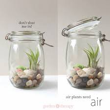 how to keep air plants alive and healthy they might even bloom