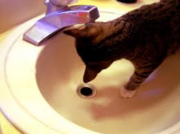 preventing deadly feline kidney and urinary disease with a simple