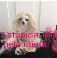 Memes De Chihuahua - mi cabello perro chihuahua meme facebook