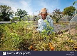 an african american farmer picks through some tomatoes in an urban