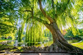 image wispering willow tree boston garden jpg