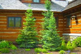photos evergreen trees shrubs for landscaping design