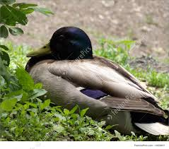 wildlife hybrid mallard duck stock picture i1859057 at featurepics
