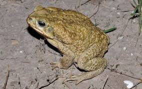 How To Get Rid Of Cane Toads In Backyard Field Herp Forum U2022 View Topic Cane Toads In Texas