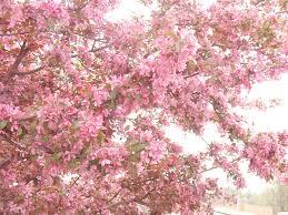 dreamy pink south carolina apple blossom trees photograph